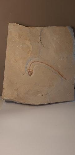 vente Hayenchelys germanus Poisson fossile