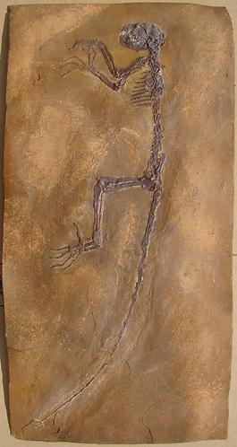 darwinius marsillaei moulage messel primate fossile