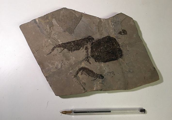 Apateon. Amphibiens fossile à vendre