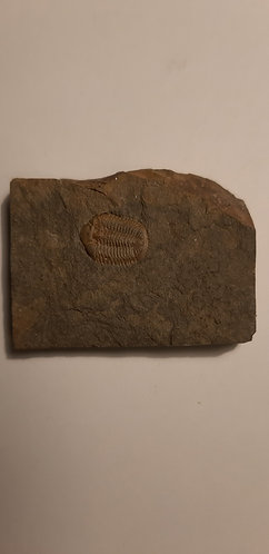 vente trilobite fossile Ductina ductifrons