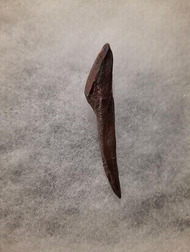"Dent de dinosaure herbivore Edmontosaure. Dinosaure à ""bec de canard""  Hadrosauridae  Crétacé  Lusk Wyoming"