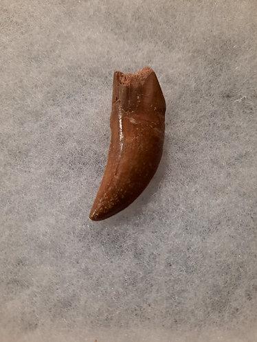 Dent de dinosaure carnivore Bahariasaurus.  Theropode  Crétacé : environ 100 millions d'années  Kem Kem maroc