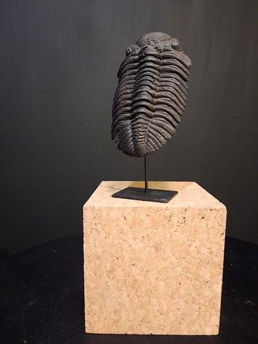 moulage trilobite phacops drotops