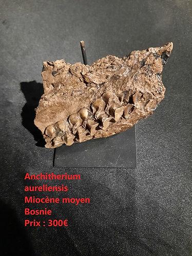 Mâchoire d'Anchitherium aureliensis  Miocène moyen  Bosnie
