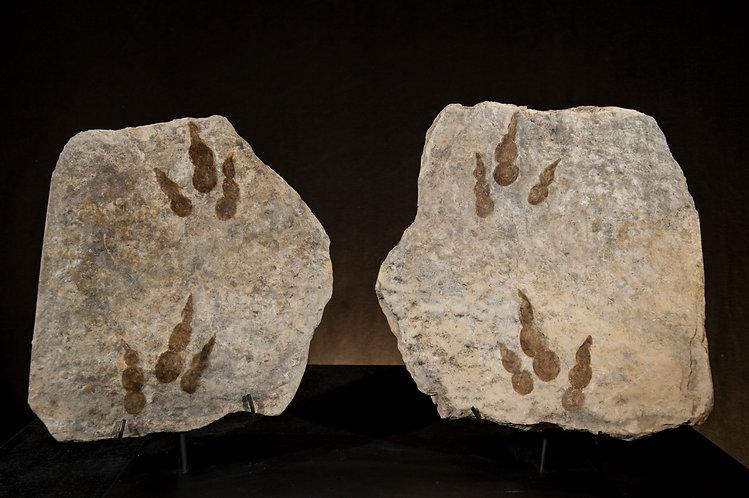 Double trace de pas de dinosaure : empreinte et contre-empreinte.  Proposée sur unsocle en fer noir.  Grallatorsauclierensi