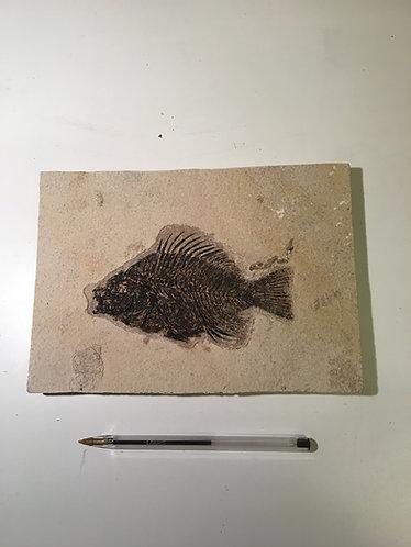 Poisson fossile. Priscacara cerrata à vendre