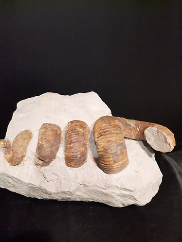 Genre : Nostoceras (Didymoceras) Espèce : cf. binodosum Age : Campanien Localité : Tarlow Świętokrzyskie, Pologne