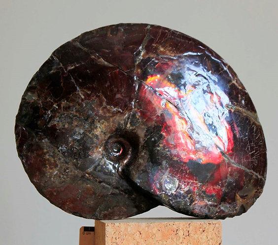 ammonite, Placenticeras meecki, Alberta Canada