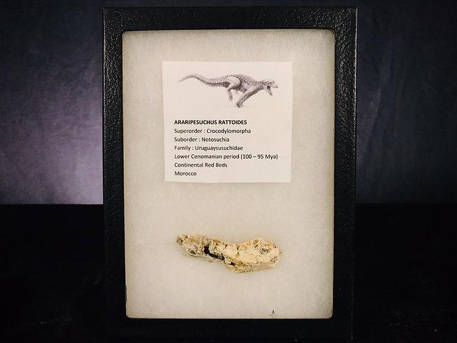 maxillaire crocodile fossile. Araripesuchus rattoides. Fossile cénomanien