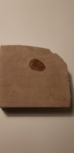 vente Trilobite Elrathia