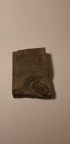 trilobite ductina ductifrons à vendre
