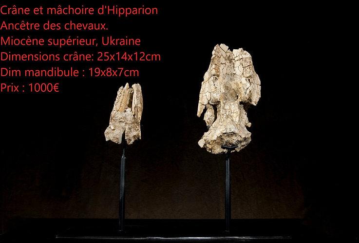 Crâne et mandibule d'Hipparion. Ancêtre des chevaux.  Miocène supérieur  Ukraine
