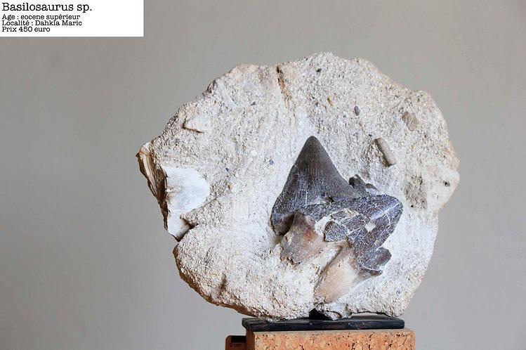 bloc avec dents fossiles de Basilosaure Maroc