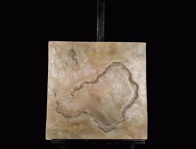 moulage de paleopython sp Messel serpent fossile