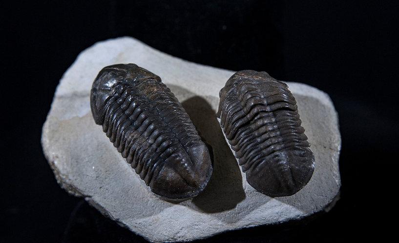 trilobite maroc reedops devonien