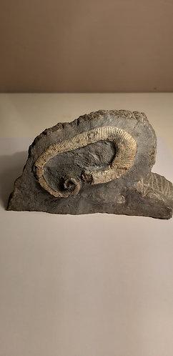 Ammonite Pseudoxybeloceras sp