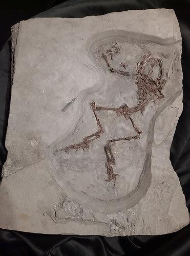 Grenouille fossile Genre : Latonia Espèce : cf. gigantea Age : Miocène moyen, environ 15 millions d'années