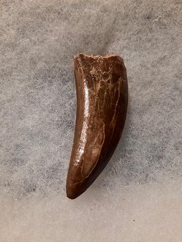 Dent de dinosaure carnivore Bahariasaurus.  Theropode  Crétacé : environ 100 millions d'années.  Kem Kem Maroc
