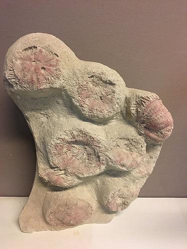 Tripneuste, oursins fossiles à vendre
