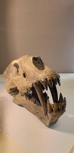 Vente moulage de crâne de tigre à dents de sabre