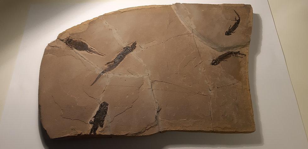 Plaque d'amphibiens fossile à vendre