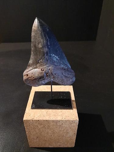 Moulage de dent de Carcharodon megalodon.  Présentée sur socle  Dimension : 13cm