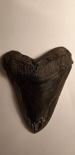 dent carcharodon megalodon à vendre