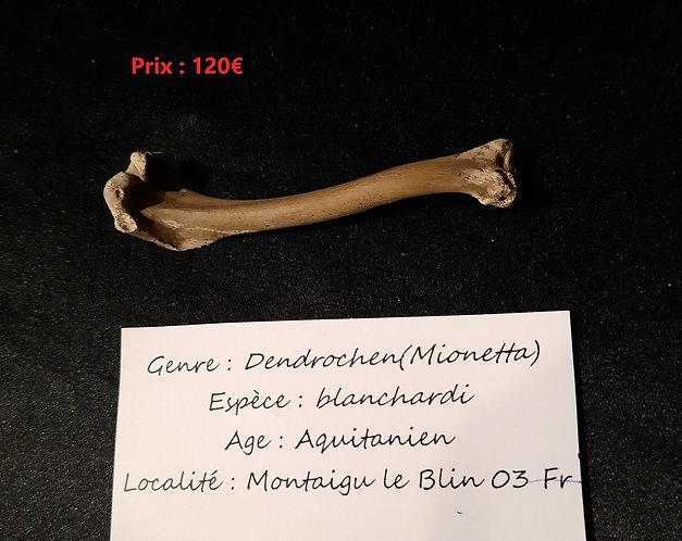 Oiseau fossile.  Dendrochenblanchardi  Aquitanien  Montaigu le Blin
