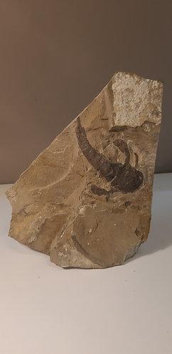 Arthropode fossile à vendre
