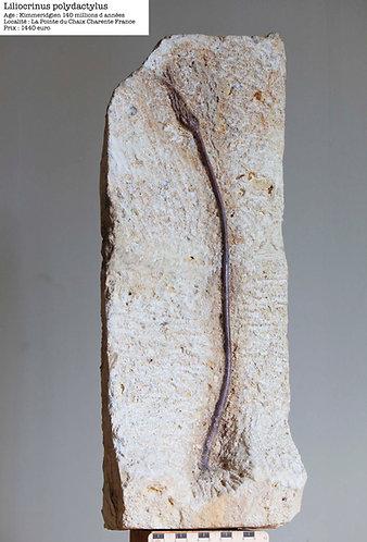 liliocrinus polydactylus crinoide kimmeridgien charentes