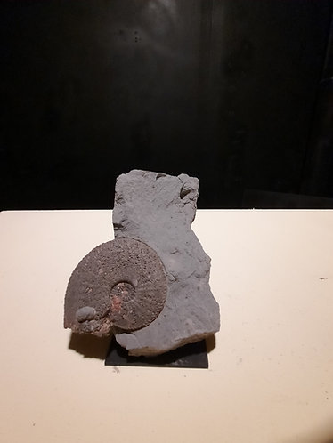 ammonite harpoceras de france