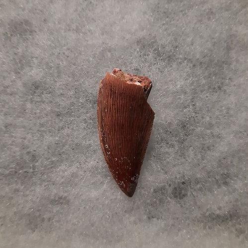 Dent de dinosaure Rugopsprimus  Theropode  Abelisauridae  Crétacé  Kem Kem Formation, K'sar es Souk, Maroc