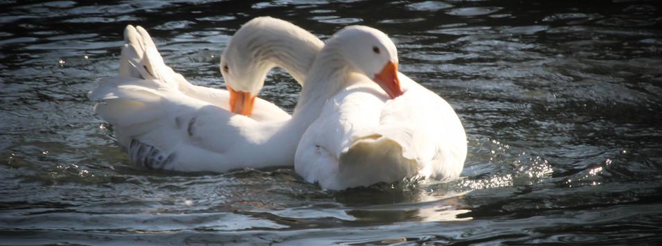 love_swans.jpg