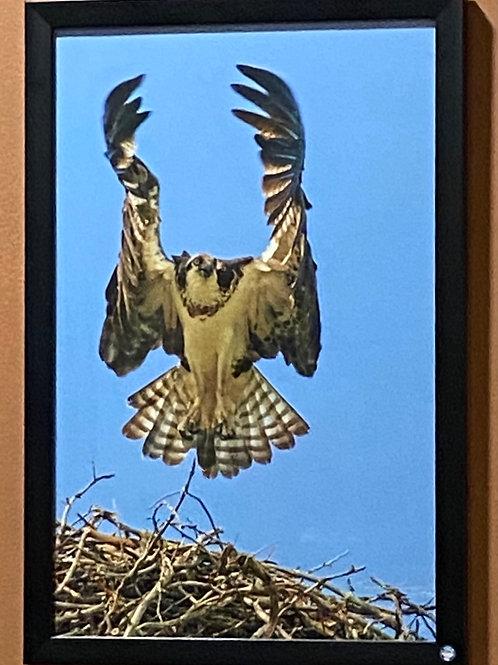 Osprey Taking Flight-11x17 Framed Poster Print