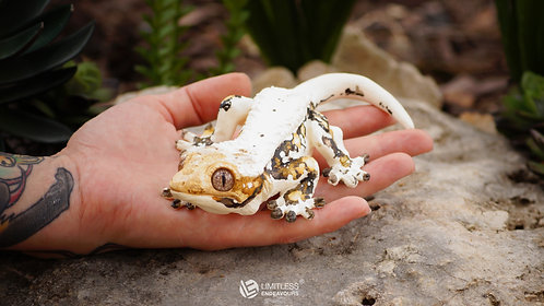 DIY Crested Gecko Magnet