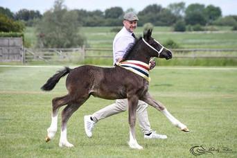 Hilgarth foal