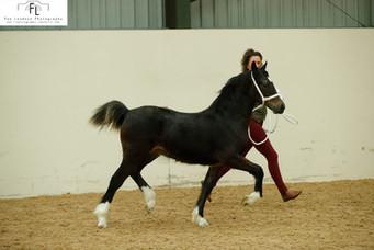 Ewpca Champion foal 2019