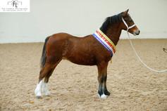 Ewpca open foal Champion