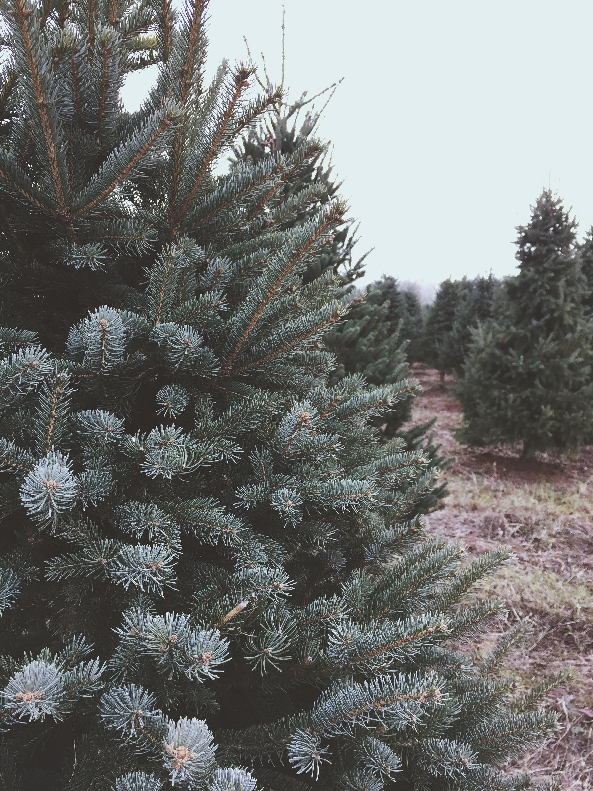 Cut Your Own Christmas Tree.Karlson Evergreens Cut Your Own Christmas Tree Farm