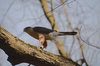 hawk with food closer.jpg