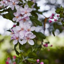 OrchardBook_Appleblossom.jpg