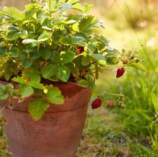 FlowerpotForager_WildStrawberries.jpg