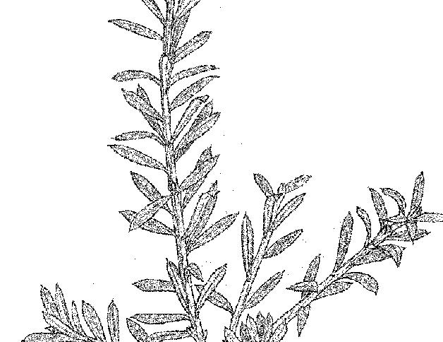 Tōtara branch