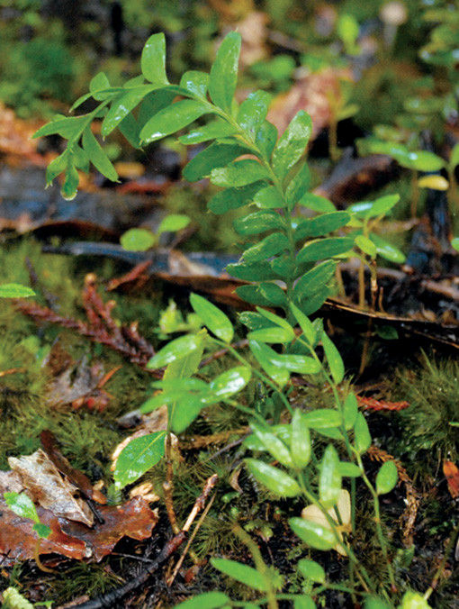 Tmesipteris (centre) and Lanternberry (foreground)