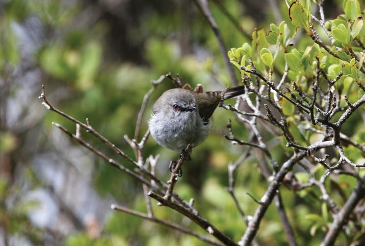 Grey Warbler (riroriro)