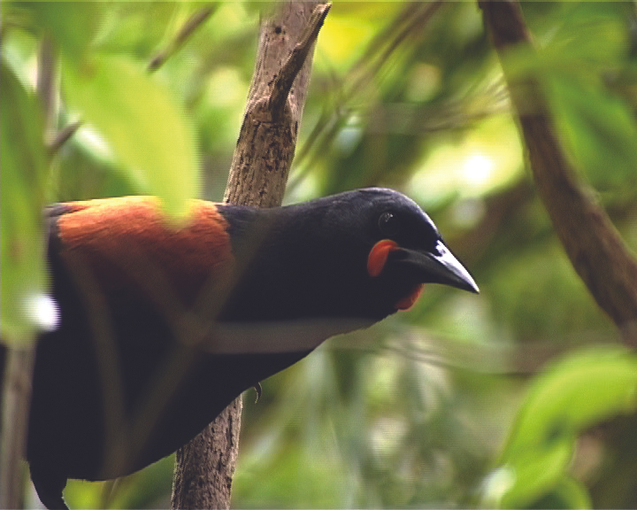 South Island Saddleback (tīeke)