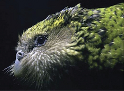 Sirocco the Kakapo, at Kakapo Encounter 2006