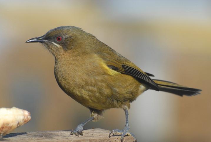 Bellbird (korimako)
