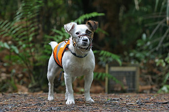 Stewart Island-based Gadget the rodent detector dog at Ulva Island