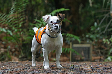 Paws4Conservation, Gadget the Stewart Island-based rodent detector dog